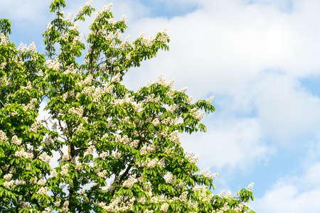 Flowering chestnut tree. Flowering chestnut against the blue sk. Banco de Imagens - 125355948