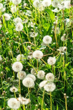 Lots of dandelions. dandelion seeds. dandelion background. Banco de Imagens - 125356082