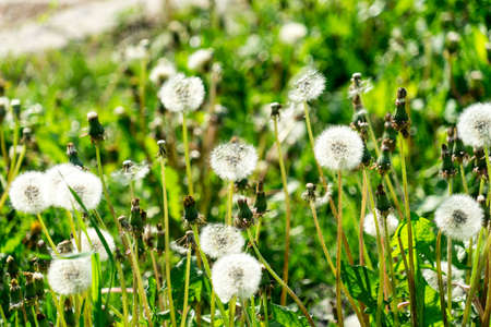 Lots of dandelions. dandelion seeds. dandelion background. Banco de Imagens - 125356084