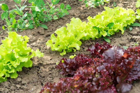 Salad grows in the garden. Photo of red and green salad growing in the garden. Salad grows in the garden. Photo of red and green salad growing in the garden.