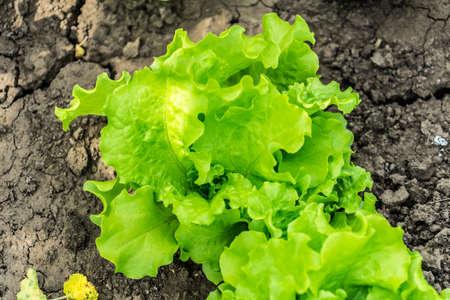 Salad grows in the garden. Photo of red and green salad growing in the garden. Salad grows in the garden. Photo of red and green salad growing in the garden. Banco de Imagens - 125356091