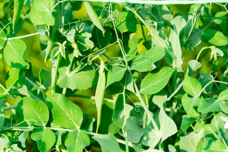 The cultivation of peas. Photo of growing peas in the garden.