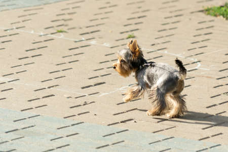 Yorkshire Terrier. Dog walks in the Park on a leash.