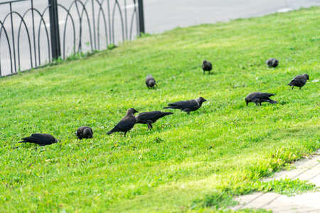 Crows on the grass. Crows looking for food on the lawn.