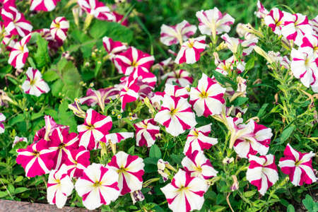 Photo of Petunia flowers growing on the street.