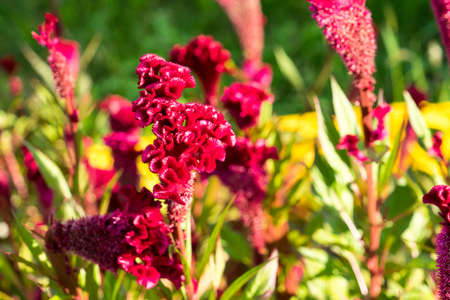 A photo of a flower celosia comb. Largly. Banco de Imagens - 134526460