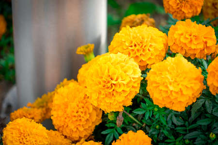 Marigold flowers photographed in a flower bed. Banco de Imagens
