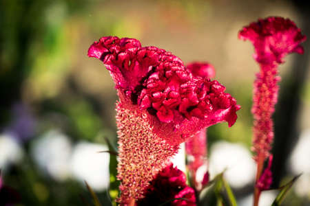 A photo of a flower celosia comb. Largly. Banco de Imagens