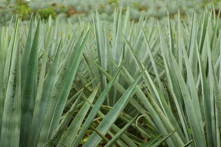 agave: producci�n de tequila en Tequila, Jalisco, Mexico Foto de archivo