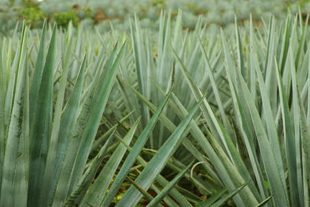 agave: tequila production in  tequila, jalisco, mexico