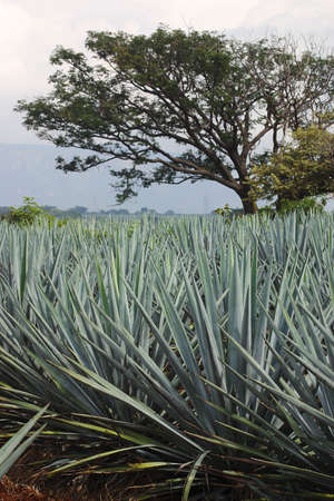 tequila production in  tequila, jalisco, mexico photo