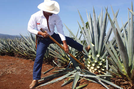 tequila: tequila production in  tequila, jalisco, mexico