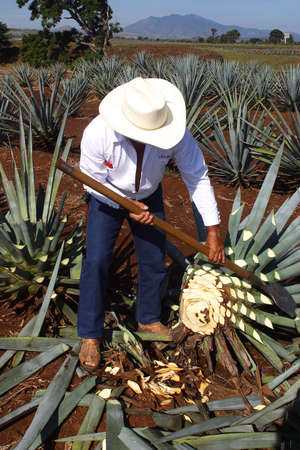 jalisco: tequila production in  tequila, jalisco, mexico