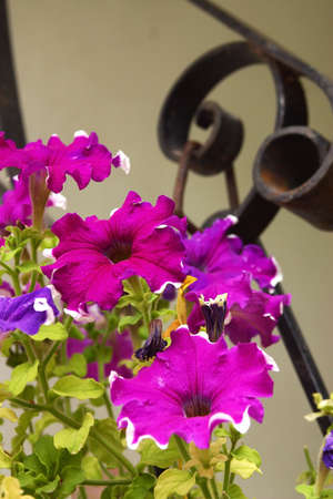 lila: purple and lila flowers in a pot on a stairway