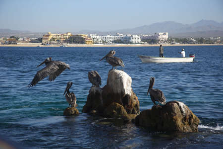 sur: pelicans at Cabo San Lucas in Baja California Sur in Mexico