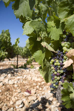 vaucluse: vineyard fiels in Vaucluse in the Provence. France