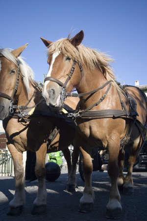 vaucluse: Horses in LIsle-sur-la-Sorgue in Vaucluse, Provence, France Stock Photo