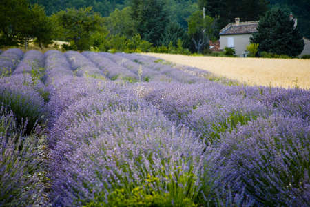 turism: lavender in Sault, Vaucluse, Provence, France