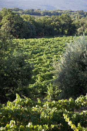 vaucluse: Vineyard in Vaucluse, Provence, France