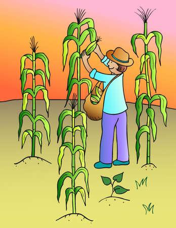 recoger: recoger maíz  Foto de archivo