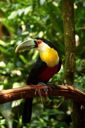 southamerica: Birds in Iguazu Falls, at the border of Argentine and Brasil, Southamerica.