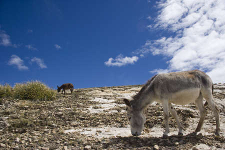 Donkeys at Island of the Sun -Isla del Sol-, Lake Titicaca, Bolivia, South America photo