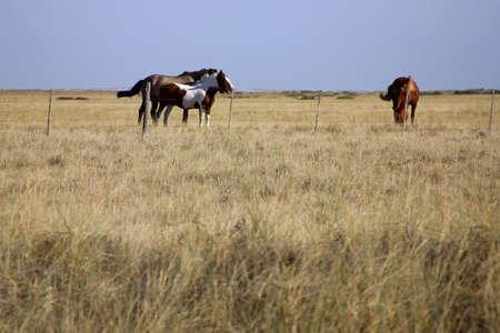 半島・ デ ・ バルデス、パタゴニア、アルゼンチンの馬