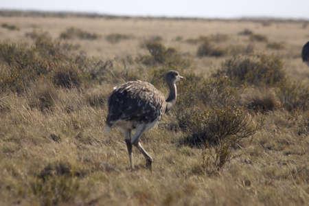 southamerica: Wildlife in Peninsula de Valdes, Patagonia, Argentina Stock Photo