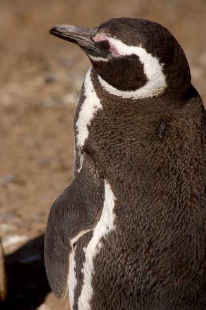 southamerica: penguin at Patagonia Stock Photo