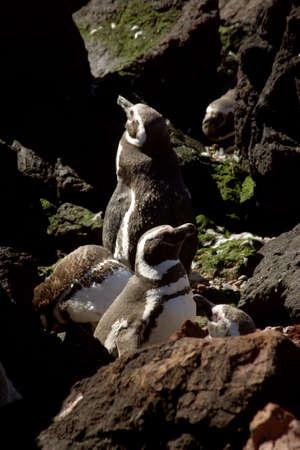 southamerica: Magellanic Penguins at Peninsula Valdes, Patagonia, Argentina