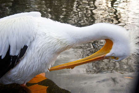 White pelicans at St. James Park in London, United Kingdom, Europe photo