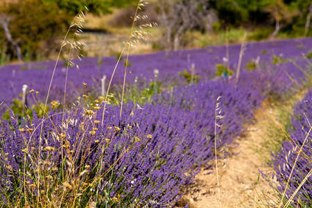 Fabaceae: Blooming field of Lavender (Lavandula angustifolia) around Boux, Luberon Mountains, Vaucluse, Provence-Alpes-Cote dAzur, Southern France, France, Europe, PublicGround Stock Photo