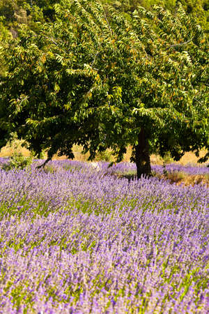 Blooming field of Lavender (Lavandula angustifolia) around Boux, Luberon Mountains, Vaucluse, Provence-Alpes-Cote d'Azur, Southern France, France, Europe, PublicGround Stock Photo - 16936283