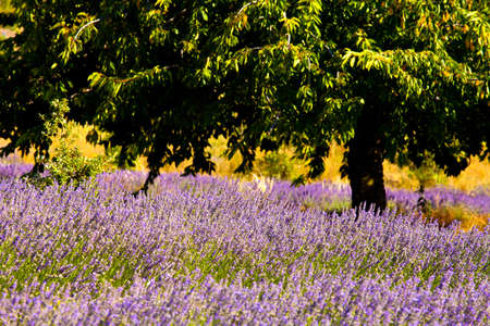Blooming field of Lavender (Lavandula angustifolia) around Boux, Luberon Mountains, Vaucluse, Provence-Alpes-Cote d'Azur, Southern France, France, Europe, PublicGround Stock Photo - 16936350
