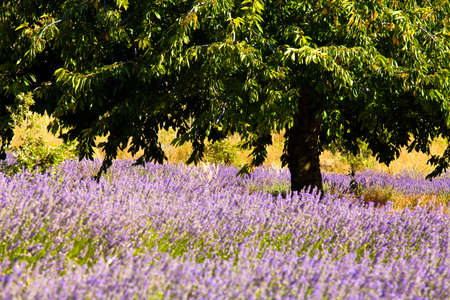 Blooming field of Lavender (Lavandula angustifolia) around Boux, Luberon Mountains, Vaucluse, Provence-Alpes-Cote d'Azur, Southern France, France, Europe, PublicGround Stock Photo - 16936316