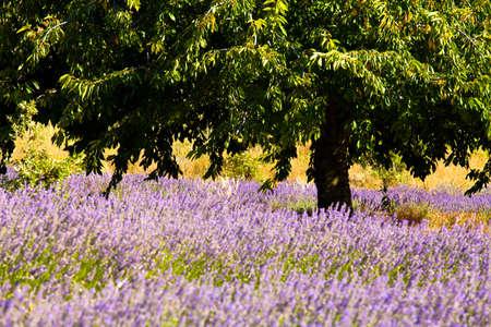 faboideae: Fioritura campo di lavanda (Lavandula angustifolia) intorno Boux, montagna del Luberon, Vaucluse, Provenza-Alpi-Costa Azzurra, Francia meridionale, Francia, Europa, PublicGround Archivio Fotografico