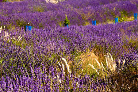 lavandula angustifolia: Blooming field of Lavender (Lavandula angustifolia) around Boux, Luberon Mountains, Vaucluse, Provence-Alpes-Cote dAzur, Southern France, France, Europe, PublicGround Stock Photo