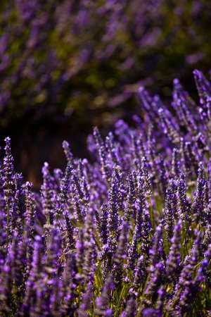 the luberon: Blooming field of Lavender (Lavandula angustifolia) around Boux, Luberon Mountains, Vaucluse, Provence-Alpes-Cote dAzur, Southern France, France, Europe, PublicGround Stock Photo