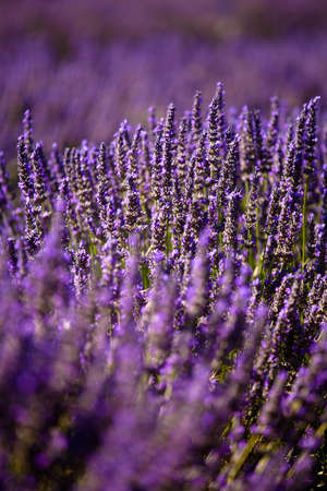 faboideae: Blooming field of Lavender (Lavandula angustifolia) around Boux, Luberon Mountains, Vaucluse, Provence-Alpes-Cote dAzur, Southern France, France, Europe, PublicGround Stock Photo