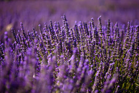 Blooming field of Lavender (Lavandula angustifolia) around Boux, Luberon Mountains, Vaucluse, Provence-Alpes-Cote d'Azur, Southern France, France, Europe, PublicGround Stock Photo - 16936336