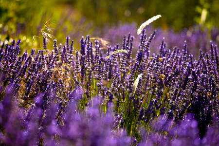 Blooming field of Lavender (Lavandula angustifolia) around Boux, Luberon Mountains, Vaucluse, Provence-Alpes-Cote d'Azur, Southern France, France, Europe, PublicGround Stock Photo - 16936347