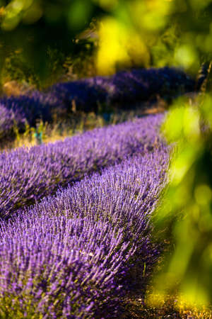 Blooming field of Lavender (Lavandula angustifolia) around Boux, Luberon Mountains, Vaucluse, Provence-Alpes-Cote d'Azur, Southern France, France, Europe, PublicGround photo