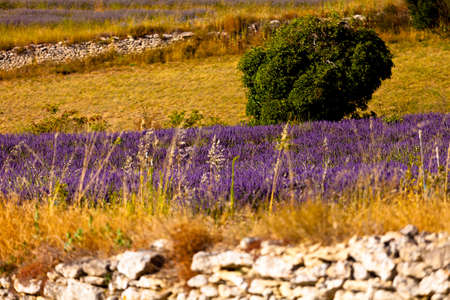 Blooming field of Lavender (Lavandula angustifolia) around Boux, Luberon Mountains, Vaucluse, Provence-Alpes-Cote d'Azur, Southern France, France, Europe, PublicGround Stock Photo - 16936349