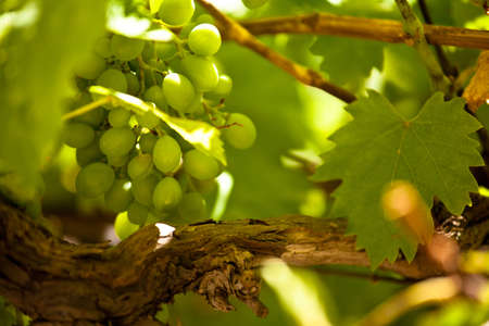 agronomy: Vineyard in Rustrel, Vaucluse, Provence, France