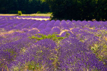 Blooming field of Lavender (Lavandula angustifolia) near of St-Christol and Sault, Vaucluse, Provence-Alpes-Cote d'Azur, Southern France, France, Europe, PublicGround Stock Photo - 16936328