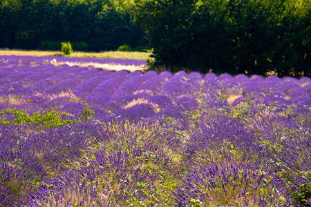 faboideae: Blooming field of Lavender (Lavandula angustifolia) near of St-Christol and Sault, Vaucluse, Provence-Alpes-Cote dAzur, Southern France, France, Europe, PublicGround
