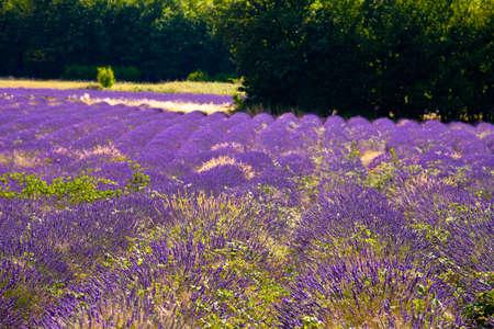 faboideae: Fioritura campo di lavanda (Lavandula angustifolia), vicino di St-Christol e Sault, Vaucluse, Provenza-Alpi-Costa Azzurra, Francia meridionale, Francia, Europa, PublicGround