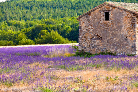 Blooming field of Lavender (Lavandula angustifolia) near of St-Christol and Sault, Vaucluse, Provence-Alpes-Cote d'Azur, Southern France, France, Europe, PublicGround Stock Photo - 16936327