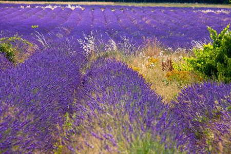 Blooming field of Lavender (Lavandula angustifolia) near of St-Christol and Sault, Vaucluse, Provence-Alpes-Cote d'Azur, Southern France, France, Europe, PublicGround photo