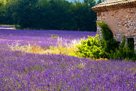 Blooming field of Lavender (Lavandula angustifolia) near of St-Christol and Sault, Vaucluse, Provence-Alpes-Cote d'Azur, Southern France, France, Europe, PublicGround Stock Photo - 16936351